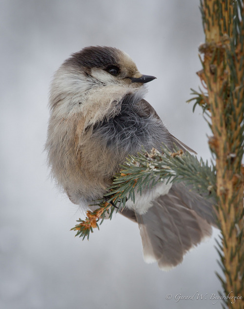 "irkajavasdream:   Gray Jay by Turk Images on Flickr. Via Flickr: Gray Jay (Perisoreus canadensis) in the mixed woods near Thorhild, Alberta, Canada. [Press ""L"" or left click to view on black] 21 February, 2013. Slide # GWB_20130221_2155.CR2 Use of this image on websites, blogs or other media without explicit permission is not permitted.  © Gerard W. Beyersbergen - all rights reserved"