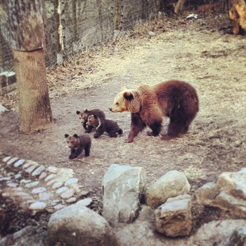 Today I've met a brown bear and her family! 🐻 #bear #skansen #brownbear #puppy #bearpuppy #puppylove #puppysofinstagram #teddybear #sweden #sweden2013 #swedenswag #swedengram #swedeninstagram #swedentrip #stockholm  #igsweden #igstockholm #sverige #igsverige #instagood #instagram #photo #photography #photooftheday #picoftheday #instago #igdaily #instadaily #webstagram #igoftheday  (presso Skansen)