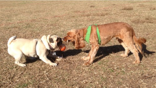 harrythepug:  Haven't had a good game of tug-o-war in quite some time.
