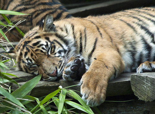 Tiger Cub Sleeping by Stephen Bridson on Flickr.