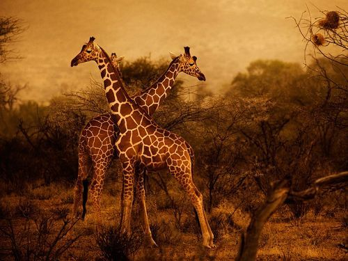 lyradain:  Giraffe Picture – Animal Wallpaper - National Geographic Photo of the Day on We Heart It. http://weheartit.com/entry/23390738/via/Eduscarslavigne