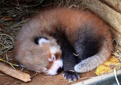 Important information: New Red Panda Baby at the Aukland Zoo. Other important information: I love red pandas specifically and zoos generally so much that I took a full day last time I was in Paris to go to the Ménagerie at the Jardin des Plantes. TOTALLY WORTH IT. Especially because you can take a BatoBus there which is awesome.