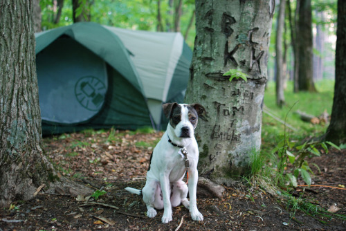 Dexter camping by Tony Faiola on Flickr.