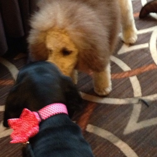 Daisy meeting @charlesthemonarch at #blogpaws