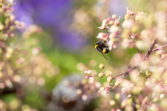 Buff-tailed Bumblebee - A buff-tailed bumblebee feeding on a tiny coral bells flower. https://flic.kr/p/2mftw1s #IFTTT#Flickr#bee#bees#bombusterrestris#bufftailedbumblebee#bumblebee#bumblebees#canon
