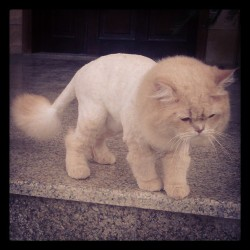 #Brrnaw #Lion #New #Hair #Cut #Cute #Nice #Like #Brown #Cat #UAE #AbuDhabi #Khalifa #City