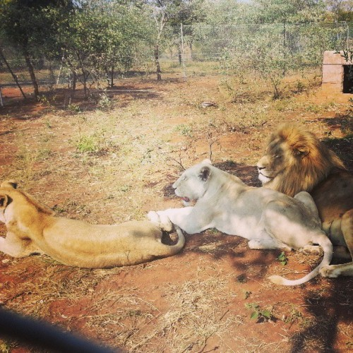 Adult #lions hanging out.