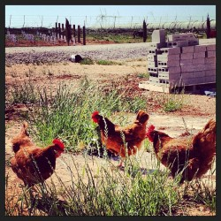 Cluck! (at Hilmy Cellars)