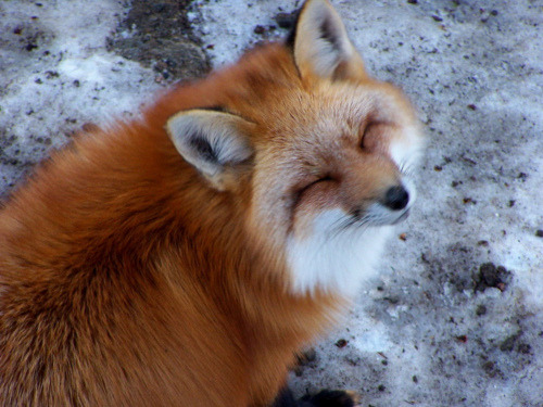 samsaranmusing:  Brother fox is mildly amused at your antics.