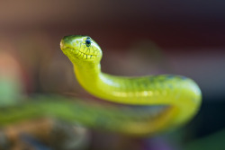 diskofthedamned:  Western green mamba (by Tambako the Jaguar)