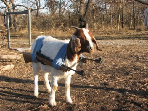 Strap On Goat Rifles Kids are so violent these days. Get it? 'Cause kid means baby goat. DO YOU GET IT?