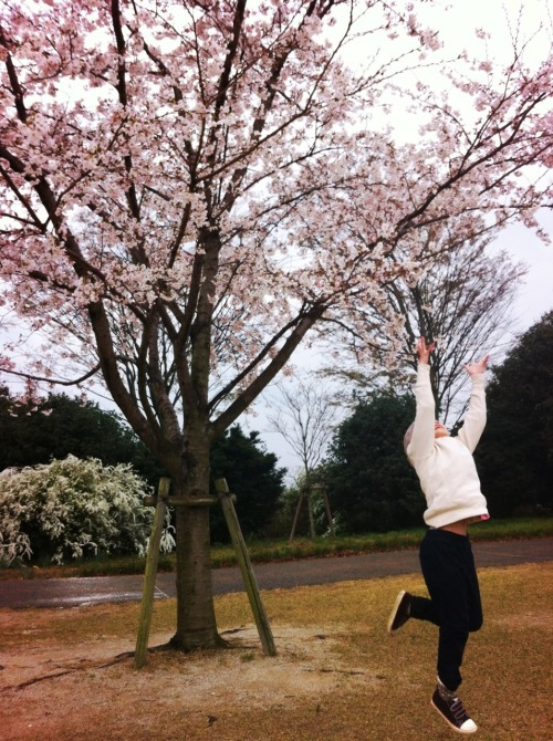 Cherry blossoms!!! 2013.3.31