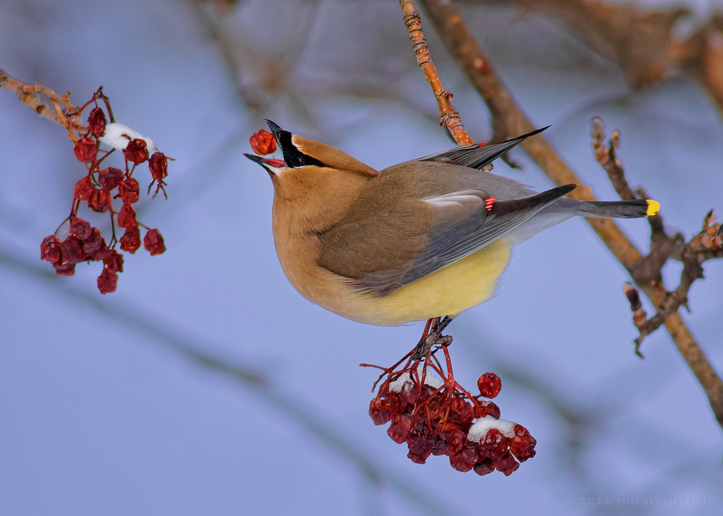 Waxwing Berry Delivery System by Fort Photo http://flic.kr/p/eemtK7