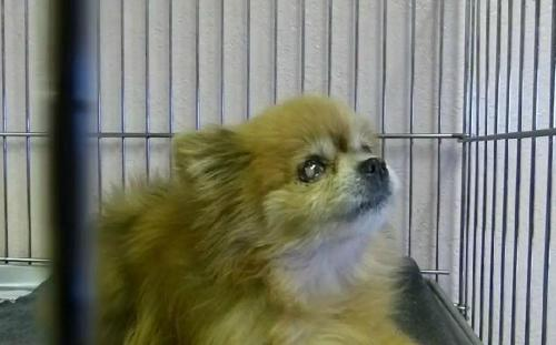tommypom:  HELP!!! This beautiful and sweet natured blind pomeranian is in need of a home asap! If you know someone in the LA area who is interested in adopting, please please please contact me asap.. i'll even send you a bunch of tommypom stickers and a tommypom tshirt as a thank you. You can see a video of her here:https://www.facebook.com/video/embed?video_id=10151330975889440 Please contact these folks below ASAP to adopt.. she has until the end of day today: Animal Shelter located at 11011 Santa Fe East in Hesperia, or call the office at (760) 947-1712 or (760) 947-1715. Reblog and save some pom! Your loving pal, TommyPom