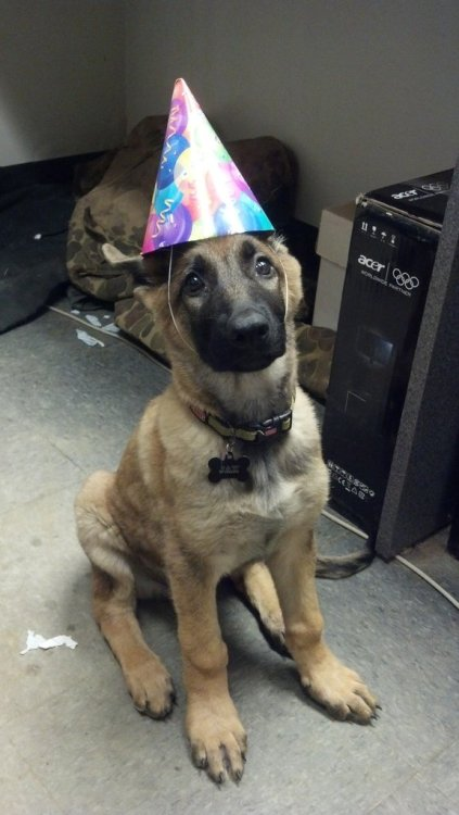 My Shepherd puppy beat Parvo so we decided to celebrate!http://cute-overload.tumbl