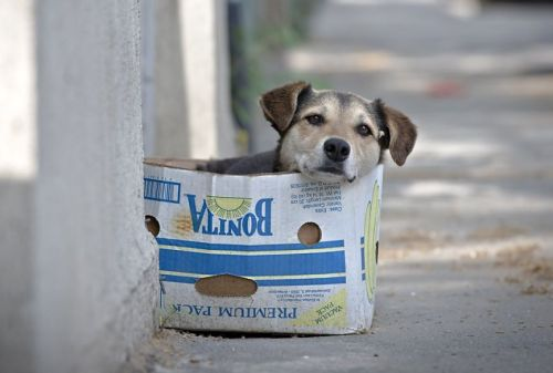A street dog sits in a box in Bucharest, Romania.  PHOTO BY VADIM GHIRDA/ASSOCIATED PRESS (via Dog in a box: A street dog sits in a box in Bucharest, Romania.)