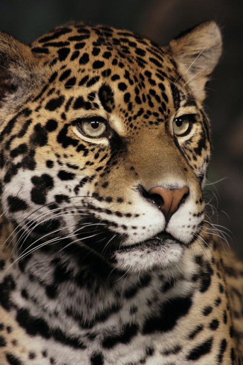 the-absolute-best-photography:  Jaguar by papatheo  You have to follow this blog, it's really awesome!