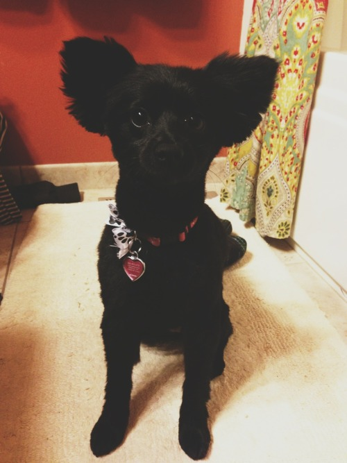 whatalovelyending:  so my dog got a haircut and now she has a striking resemblance to Yoda.