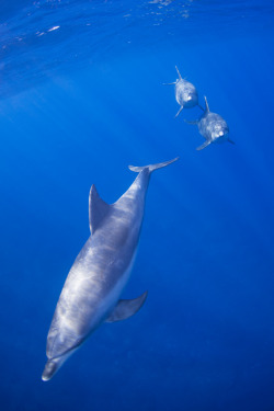 100leaguesunderthesea:  Three Southern bottlenose dolphins by Shin-Okamoto