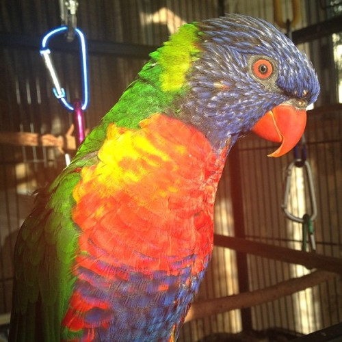Rodney in the morning sunlight. #morning #goldenlight #lorikeet #bird