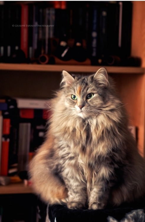 mostlycatsmostly:  Cleo-Cleo (via Cesar the Cat)