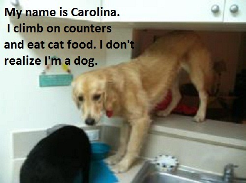 My name is Carolina. I climb on counters and eat cat food. I don't realize I'm a dog.