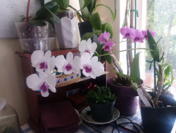 dendrobiums-in-bloom-on-flickr-dendrobiums-in