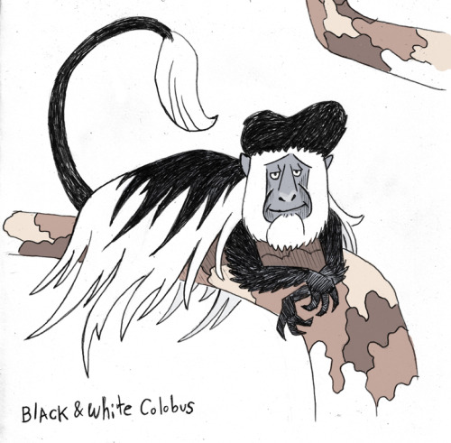 This Black and White Colobus monkey has AWESOME skunk hair! http://itsmonkeymonday.com/