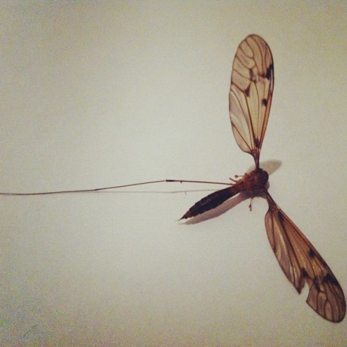 Zancudo de una sola pata. #insect #animal #wings #legged #body #still #dead #nature
