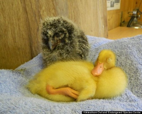 "Duck, Owl Photos Show The Most Adorable Friendship Ever  The best friend bond is something that can last a lifetime, and for these two winged pals, it looks like they'll be buds for years to come. Chop-suey, a baby white-crested runner duck, and Larch, a baby long-eared owl, met at the Kirkleatham Owl Center in northern England earlier this month. The two have since become inseparable, sleeping and cuddling with each other.  A spokesperson for the center said the pair will eventually need to be separated due to ""differing needs as they develop,"" Zooborns reported. But for now, the cuteness can continue. While they may be adorable, make sure to keep baby ducks outside as they don't make for good pets. The average duck poops once every 15 minutes and the CDC recommends washing your hands after coming into contact with them as they ""often"" carry Salmonella. Take a look at some more photos and a video of the pair here."