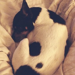 My little egg. Time for bed…🐺💤💤 #tft #toyfoxterrier
