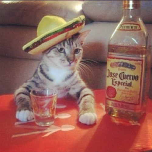 minimaxx:  This cat knows what's up. #cincodemayo