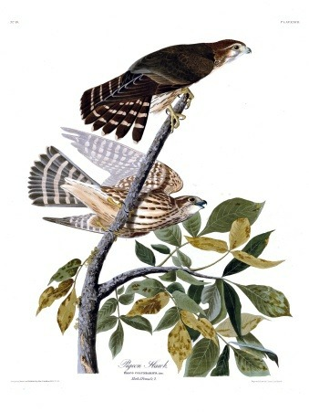 Plate 92 of The Birds of America by John Audubon, the Pigeon-hawk, now known as the Merlin.