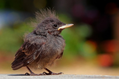 Bold Baby Redstart by Wise Photography.