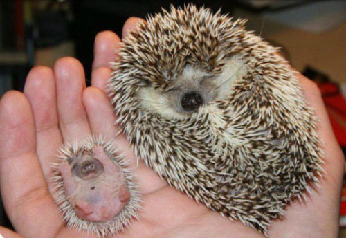 cute-overload:  Two hedgehogshttp://cute-overload.tumblr.com