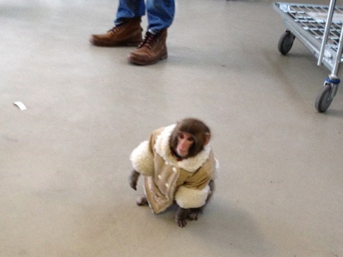 thedailywhat:  Look at This Well-Dressed Monkey of the Day  Have you met IKEA Monkey, the 7-month-old runaway primate dressed in a shearling coat that was found casually wandering around a Toronto IKEA store yesterday? According to the National Post, the monkey was spotted by staff members in the store's upper parking lot after escaping out of the cage and the car belong to its (now former) owners. This picture (shown left) was subsequently posted online by Bronwyn Page via Twitter, where the fashionable simian has already become a meme of sorts.