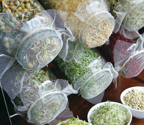 rawlivingfoods:  The Benefits of Sprouting Sprouts are super easy to grow and incredibly nutritious. Buying sprouts from shops can be up to ten times more expensive than growing your own. Sprouts are one of nature's true living superfoods - they are enzyme-rich, high in amino acid (protein) content, bursting with minerals and trace minerals, and are packed with chlorophyll. Sprouts are also healing and therapeutic, cleansing and alkalizing, and filled with antiaging antioxidants. Because they are so high in minerals and enzymes, they facilitate digestion, detoxification, and weight loss. What's more, they taste fantastic. There is a wide selection of different types of seeds that one can sprout, so the variety and flavors available are virtually endless. The Glass Jar Method There are many different sprouting kit options, ranging from stackable plastic rings to glass jars, sprouting bags, and automatic sprouters. My favorite is the glass jar method. Sprouting with this simple system involves soaking your chosen seeds overnight and covering the jar with a mesh screen and rubber band. In the morning drain the soak water and rinse the seeds twice daily, placing them on a rack to drain during the day. Harvest them within three to seven days. Some of the easiest sprouts to grow are alfalfa, fenugreek, radish, broccoli, mung beans, onion, cabbage, mustard seeds, chickpeas, quinoa, lentils, pea sprouts, and wheat seeds. For most sprouts, continue to sprout them until they have developed a long tail or their first leaves have begun to go green. In the case of chickpeas, quinoa, pea sprouts, mung beans, and lentils, they are ready to eat as soon as their tails begin to unfurl or emerge from the seed.