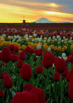 visitheworld:  Incredible morning at the Wooden Shoe Tulip Farm in Woodburn, Oregon (by G.az Photo's)