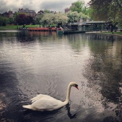 Iron Man was sold out yesterday afternoon so I hung out with a swan. (at The Swan Boats)