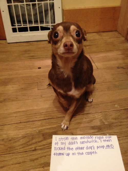 dogshaming:  Lucy the Naughty Chihuahua  Lucy my chihuahua was being naughty today! She pulled avocados right out of her dad's sandwich,…  View Post