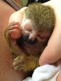 primatography:  Just a few minutes ago we got an orphaned newborn Titi monkey!!!  Everyone please send positive vibes our way for this guy. This one won't be easy!