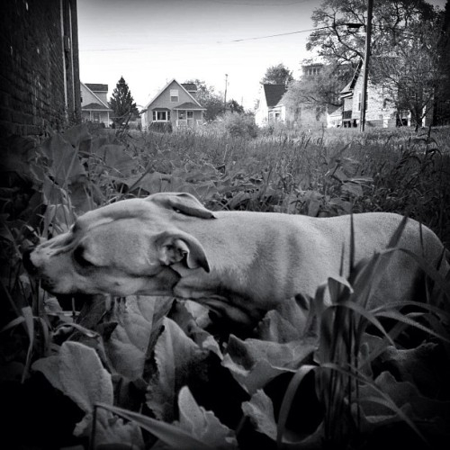 Fury thinks she is a cow. #cowdogeatsgrass #nolawnmowerneeded #detroitlove #hubbardrichard  #southwestdetroit #detroit #dog