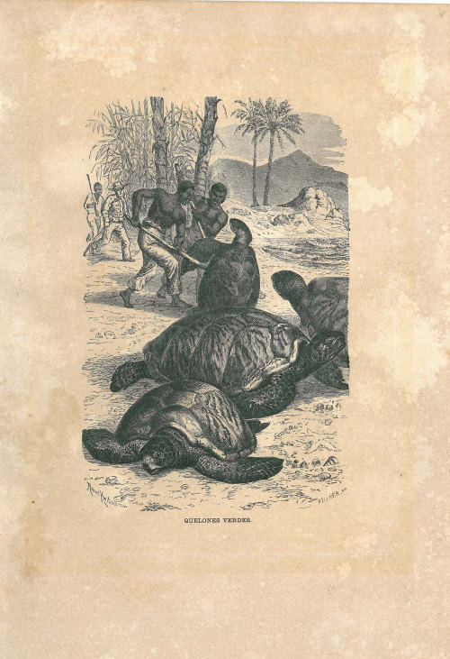 1883 Green Sea Turtle Animal Art Print Antique Engraving  Brehm Tierleben at CarambasVintage http://etsy.me/16ZAnA4