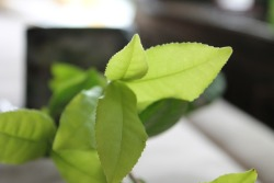 Tender leaves of a young tea tree.