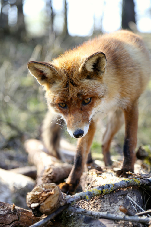mystic-revelations:  Mr. Fox (by gerbenzomp)