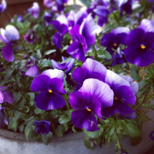 pansies on my porch