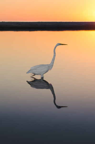 intothegreatunknown:  Great Egret at Sunset