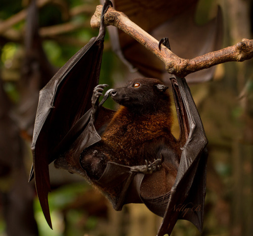 phototoartguy:  The Giant Flying Fox Bat by Nelly B.  This Roberto. He no like the light.