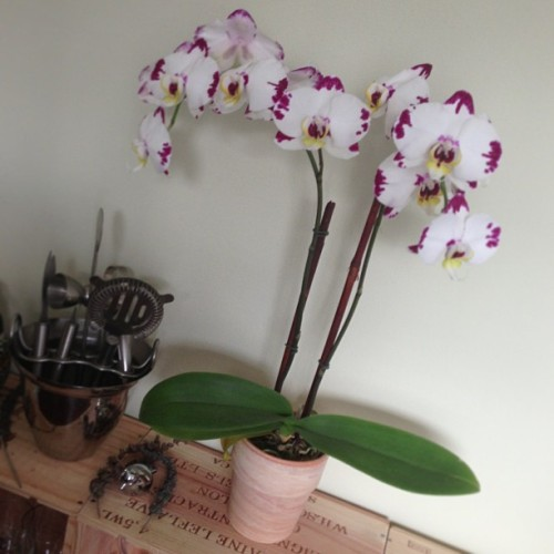 It's still alive! So proud of our orchid skills.