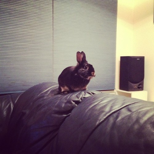 Nanananananana couch bunny!! #rabbit #bunny #bunniesofistagram #rabbitsofinstagram #animals #cute